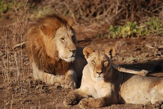 Photo de lions à Amboseli
