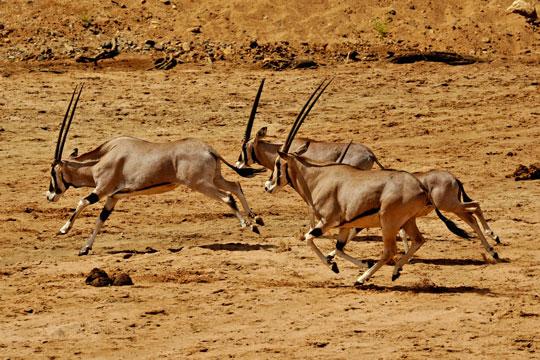 Safari photo Samburu et Buffalo Springs