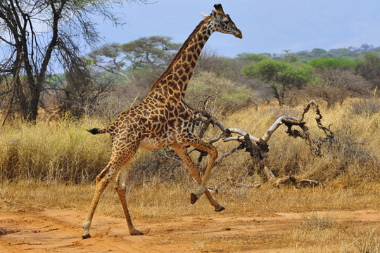 Photo de girafe du Tarangire